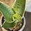 """Thumbnail: sansevieria trifasciata hahnii silver 4"""""""
