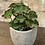 "Thumbnail: begonia river nile 4"""