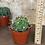 """Thumbnail: ferocactus latispinus 4"""""""