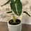 """Thumbnail: alocasia green velvet 4"""""""