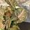 "Thumbnail: syngonium regina red 4"""