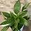 "Thumbnail: spathiphyllum domino variegata 6"""