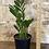 "Thumbnail: zz(zamioculcus zamiifolia) 5.5"""