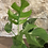 "Thumbnail: rhaphidophora  tetrasperma 4"""