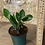 "Thumbnail: zz(zamioculcus zamiifolia) plant 4"""