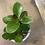 "Thumbnail: hoya australis green 4"""