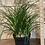 "Thumbnail: ponytail palm 6"""