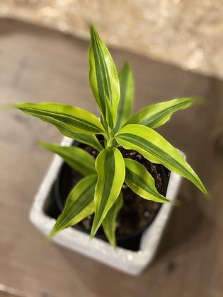 "ribbon plant lime green 3.5"""