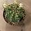 "Thumbnail: britton and rose cactus 4"""