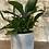 """Thumbnail: staghorn fern 4"""""""