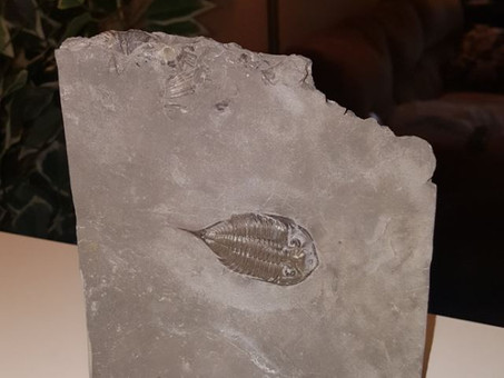 430 million year-old Trilobite