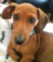 Harvey the dachshund