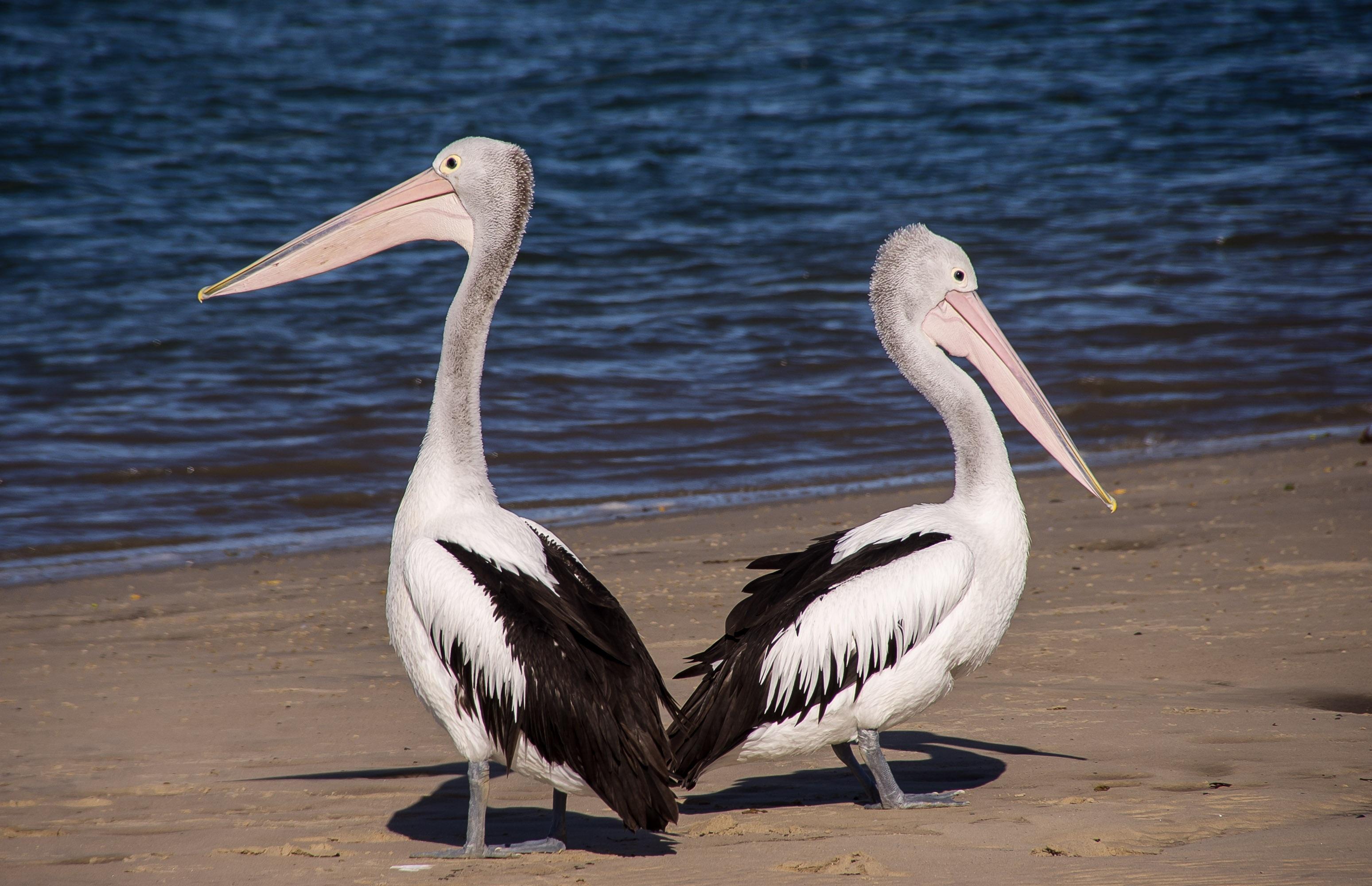 pelicans-446864.jpg