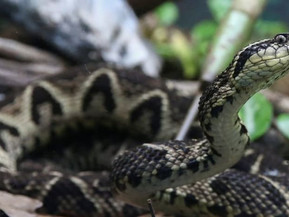 Brazilian viper venom may become tool in fight against COVID-19, study shows