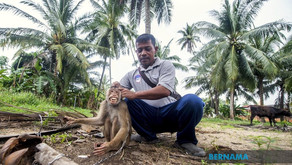No monkeying around as Sudin Chepo's primates go nuts in training school