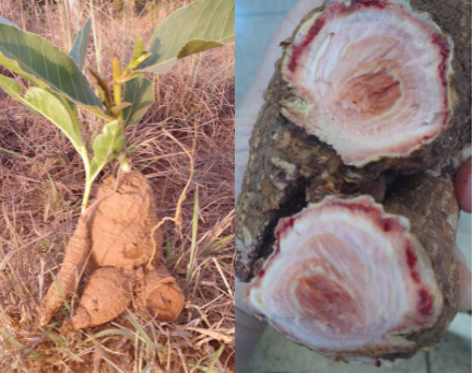 Amido do Cerrado é alternativa viável para indústria de alimentos | UFG