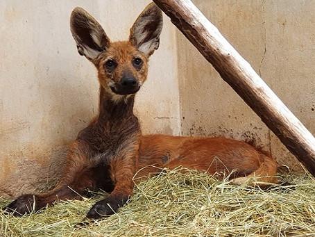 Lobo-guará resgatado está se recuperando de machucados e lesões de pele | UFSCar