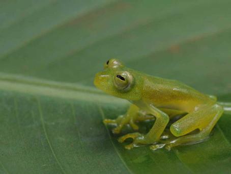 Mais de 500 espécies de anfíbios no bolso do pesquisador   Unesp