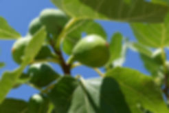 fig-tree-1658686.jpg