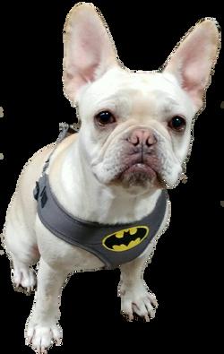 Frenchie Batman