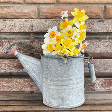 A tin watering can holds white and yellow daffodils against a brown brick background.