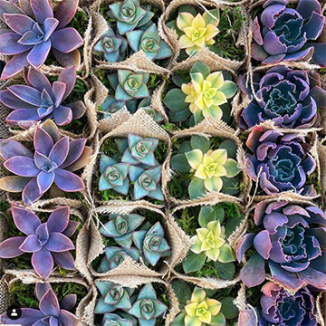 four rows of succulent plants, photographed from above, with flaps of brown burlap peeking up around each individual plant.