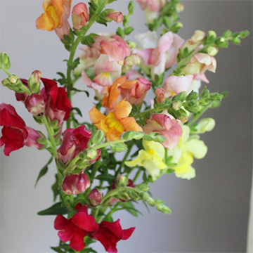A loose bouquet of red, white, orange, pink, yellow, and green snapdragons is held against a white background.