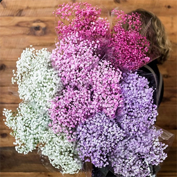 A woman stands with her shoudler towards the camera with a very large bunch of baby's breath in various shades of white to purple slung over her shoulder and draping down her back.