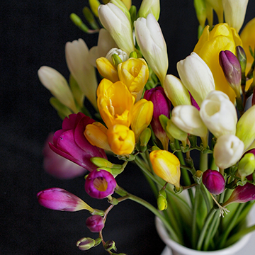 A vase of yellow, purple, and white freesia flowers in a white vase with a dark grey background.