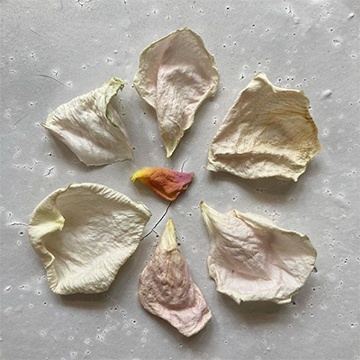 Six crinkled, dry, white rose petals radiate out from a smaller, pink petal in the center.
