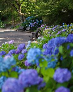 Blue hydrangeas curl around some park benches.