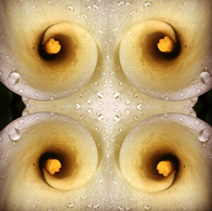 A perfect spiral inside of a white lily, mirrored four times around the center of the image.