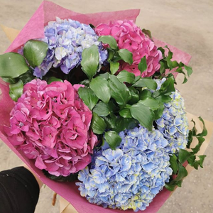 A small bouquet of two pink hydrangea heads and two blue hydrangea heads wrapped in pink tissue paper.