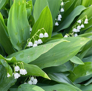 Sprigs of white bell-shaped flowers erupt from wide, dark green leaves with sun shining on them.