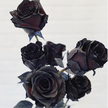 A grouping of black roses sits in front of a white-grey background.