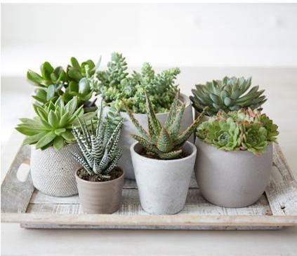 Assorted Succulent Varieties