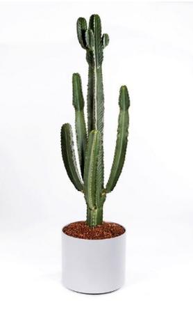 Euphorbia Ingen Cactus or Similar