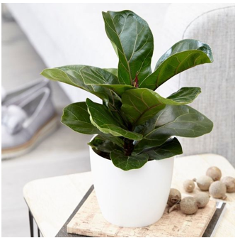 Ficus Lyrata Bush or 'Fiddle Leaf Fig'
