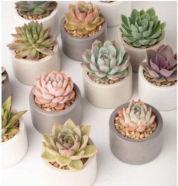 Assorted Echeveria Succulent Rosettes