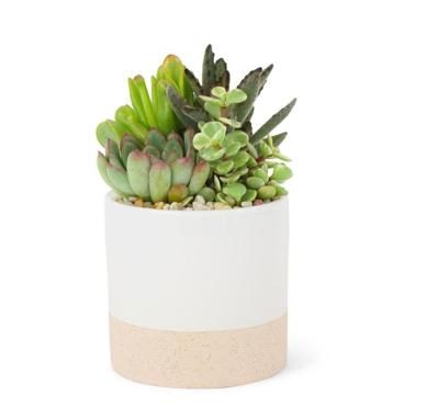 Small Mixed Succulent Planter