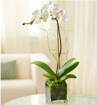 White Double Phalaenopsis Orchid