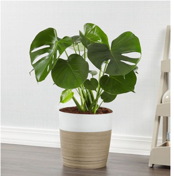 Split Leaf Philodendron or 'Monstera'