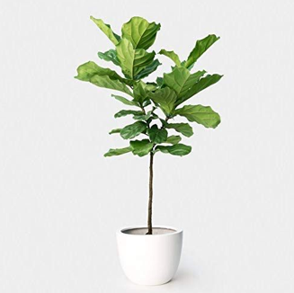 Ficus Lyrata Topiary or 'Fiddle Leaf Fig'