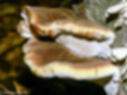 ischnoderma-resinosum_DS.jpeg