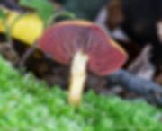 cortinarius-semisanguineus_for web.jpeg