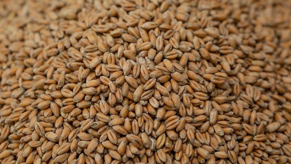 Organic Hard Red Wheat 5210