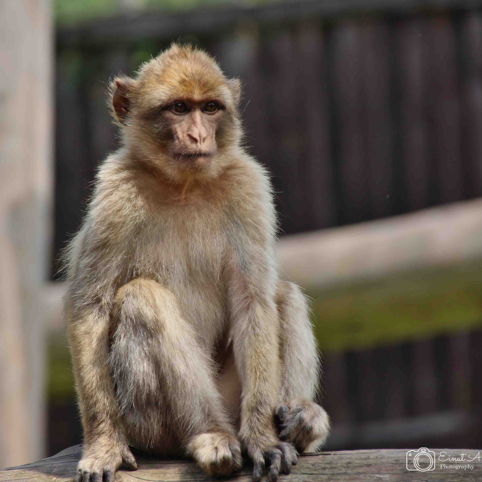 קוף מתבונן