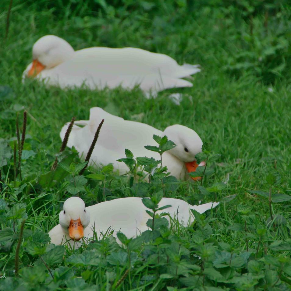 ברווזים בדשא