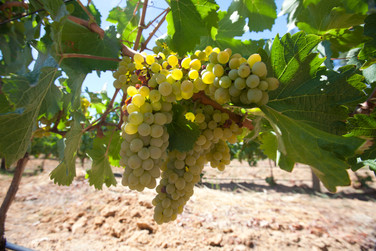 Chenin on the vine