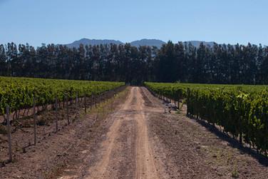 Helderberg vines